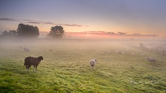 Waking up (Ellen van den Doel) Tags: flakkee natuur netherlands nature mist overflakkee nederland outdoor sunrise up september animal goeree morning goodmorning 2017 sheep landschap sfeer schapen trees zonsopkomst zonsopgang fog myst waking landscape atmosphere nieuwetonge zuidholland nl