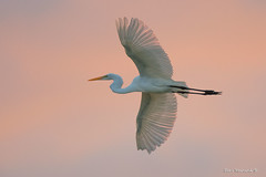 Wingspread (Earl Reinink) Tags: bird animal flight flying bif wings earl reinink earlreinink nikon nature naturephotography sunrise egret color sunset greategret duddeuedia