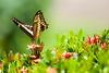 Costa-Rica-6246.jpg (ingmar_) Tags: costarica fauna gezin insect natuur vakantie vlinder zomervakantie