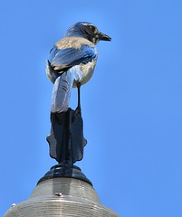 King Of The Lamp Post (swong95765) Tags: bluejay bird lamp sky observation alert