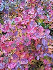 Autumn colours (AliquisNJ) Tags: autumn colours colorful leaves nature finland kerava tuusula