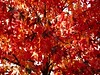 red as red can (vertblu) Tags: autumn autumncolours autumncolouring autumnfoliage fall red redtones leaves foliage maple acer almostabstract abstractfeel abstractnature treetop crown treecrown canopy leafcanopy vertblu contrast contrasty warmtones rotrossorougerood rot rouge rosso anglesanglesangles monochrome orange tree sidelight sidelit
