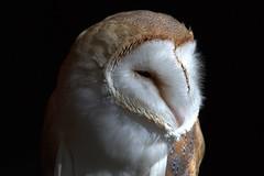 La star des Médiévales (chriskatsie) Tags: portrait oiseau bird owl chouette barn effraie lumiere light