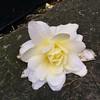 """Blossom"" (winterkl) Tags: sidewalk lostthing white yellow london floraandfauna blossom westminster"