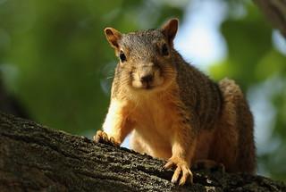 Squirrel, Cantigny Park. 44 (EOS)