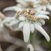 Eidelweiss flowers
