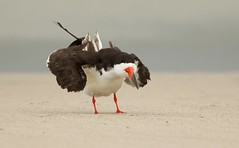 Black Skimmer posing (mandokid1) Tags: canon 1dx ef400mmdoii birds shorebirds terns nickerson