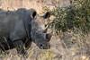White Rhino with Ox Peckers (mayekarulhas) Tags: krugerpark mpumalanga southafrica za whiterhino wildlife wild canon canon500mm
