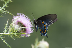 Butterfly 2017-133 (michaelramsdell1967) Tags: black swallowtail thistle beauty nature macro flower animals bokeh beautiful closeup butterfly animal pretty photo green insect vivid insects wildlife photography zen wild vibrant bug butterflies meadow bugs wilderness upclose morpho