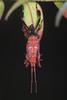 Eastern Leaf-footed bug molting (myriorama) Tags: easternleaffootedbug hemiptera heteroptera pentatomomorpha coreoidea coreidae coreinae anisoscelini leptoglossus leptoglossusphyllopus molting