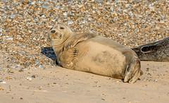 JWL8155  Common Seal.. (jefflack Wildlife&Nature) Tags: seal seals commonseal harbourseal animal mammal sea seashore shoreline harbours beaches norfolk blakeney nature