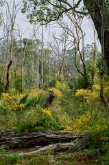 Mundy Regional Park, Forrestfield, Western Australia - 20170916.001 (Cecilia Temperli) Tags: australia westernaustralia perth forrestfield lewisroadwalk springflowers spring film kodak nikonf3hp kodakgold200 bushwalking mundyregionalpark whistlepipegully