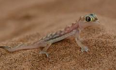 Web-Footed Namib dune Gecko (setoboonhong ( Back and catching up )) Tags: travel swakopmund dunes desert namib webfooted gecko sand burrow close up depth field bokeh blur namibia nature tour quadbike