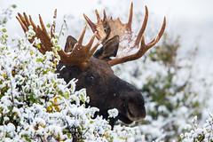 "Getting Ahead  3I6983 (Dr DAD (Daniel A D'Auria MD)) Tags: moose mammals animals wildlife ""wildlifephotography"" ""animalphotography"" nature weather snow ""grandtetonnationalpark"" ""gtnp"" wyoming ""animalsofgrandtetonnationalpark"" ""children'swildlifebooksbydanielad'auriamd"" ""drdadbooks"" ""danielad'auriamd"" ""september2017"""