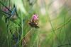 Clover. A bit twisted and wired. (Gudzwi) Tags: hff clover klee kleeblüte blüte blossom cloverblossom grass gras zaun fence fencefriday fencephotography wiese meadow grün green 7dwf 7dwffridaysflora flora pink garden flower plant
