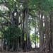 Banyan trees - Maldives