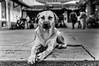Vigilante en su guardia (david_rodrguez2000) Tags: mascota miranda bn venezuela sanantoniodelosaltos bw castores conchanata perro dogpet raw streetphotography