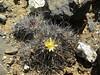 Copiapoa megarhiza echinata RB2137 (Robby's Sukkulentenseite) Tags: atacama cacti cactus chile copiapoa echinata fnrrb2137 humilis ka4329s kakteen kaktus megarhiza rb2137 reise standort totoral