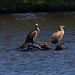 Cormorant Pair - Argyle Lake thumbnail