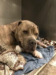 Hunter (Helping Paws Foundation) Tags: helpingpaws orthopedics patient 501c3