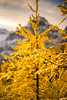 DSC08340 (www.mikereidphotography.com) Tags: larches fallcolors autumn canada canadianrockies lakemoraine larchvalley sentinelpass 85mm otus zeiss mirrorless a7r2 landscape golden