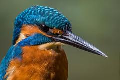 Kingy up close. (Jez Nunn) Tags: kingfisherbirdswildlifenikonnaturesussexcloseup
