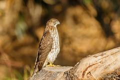 Cooper's Hawk (Bob Gunderson) Tags: accipiters acciptercooperii birds birdsofprey california coopershawk lakemerced northerncalifornia sanfrancisco sunsetwoodenbridge
