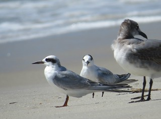 Forster's and Common Terns