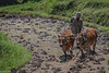 Bali, Indonesia (Yee-Kay Fung) Tags: bali indonesia farmer ricefields