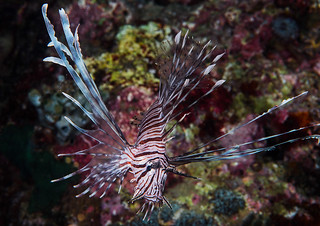 Indian Lionfish, subadult - Pterois miles