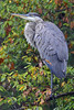 SMILE (Bill Vrtar Photo) Tags: millcreekpark lilypond ohio vrtarsmugmugcom heron blueheron