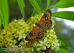 Borboleta - Stalachtis phlegia (Riodinidae) (Marquinhos Aventureiro) Tags: wildlife vida selvagem natureza floresta brasil brazil hx400 borboleta butterfly stalachtis phlegia riodinidae nature adventure