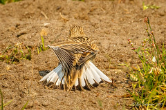 McCown's Longspur (f) immature (Bob Gunderson) Tags: birds california crissyfield longspurs mccownslongspur northerncalifornia presidio rhynchophanesmccownii sanfrancisco