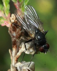 fly indet (BSCG (Badenoch and Strathspey Conservation Group)) Tags: acm diptera fly insect fungus heathland