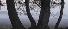 Boom (Gerrit Veldman) Tags: drenthe grootezand hooghalen nederland netherlands mist boom tree fog heide heath heathland natuur nature drentselandschap olympus epl7