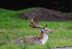 Fallow Deer Buck at Greenwich Park, London (Ian J Hicks) Tags: