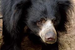 Sloth bear (dpsager) Tags: bear columbus columbuszoo dpsagerphotography ohio slothbear zoo zoosofnorthamerica