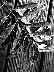 rain drops on sumac branch (larrynunziato) Tags: mono sumac branchwithraindrops creative photography contrast raindrops