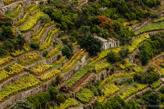 Terraced vineyard in Cinque Terre, Liguria