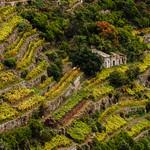Terraced vineyard in Cinque Terre, Liguria thumbnail
