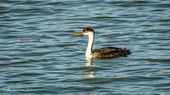 Western Grebe (Bob Gunderson) Tags: aechmophorusoccidentalis birds california grebes lakemerced northerncalifornia sanfrancisco sunsetwoodenbridge swimmingbirdsother westerngrebe