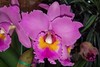 frilly (BarryFackler) Tags: orchid flower botany gardening horticulture akatsukaorchidgardens bloom blossom petals leaves colorful colors indoor life bigisland hawaii akatsukaorchids horticultural plants organism biology nature flora floral ecology momsvisit2017 tropical hawaiiisland polynesia beautiful barryfackler barronfackler 2017 hawaiicounty sandwichislands botanical hawaiianislands