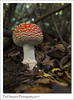 Young Fly Agaric Mushroom (Paul Simpson Photography) Tags: flyagaric mushroom fairy toadstool paulsimpsonphotography imagesof imageof photoof photosof nature sonya77 sonyphotography october autumn 2017 leaves fall autumnal red mushrooms twigs england uk