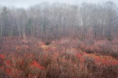 Winterberry near Kennebunkport, Maine (James Duckworth) Tags: jamesduckworthphotography maine cold fineartphotography fog landscape nobody trees winter winterscene winterberry