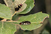 Metallic Wood-boring Beetles (jgruber111) Tags: acmaeoderaamabilis acmaeodera polycestinae buprestidaemetallicwoodboringbeetle jewelbeetle beetle coleoptera insect macro entomology