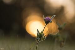 ''Les gouttes d'or!'' (pascaleforest) Tags: macro macrophoto passion nature nikon sigma fleur flower givre frost contrejour bokeh moorning québec canada matin automne autmn