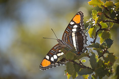 Arizona Sister butterfly on an oak branch (melaniwright) Tags: green adelpha america animal arizona beautiful black brown butterfly color desert eulalia flora insect invertabrates nature oak orange sister utah wild wildlife wings