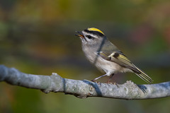 Golden-Crowned Kinglet (Jesse_in_CT) Tags: goldencrownedkinglet nikon200500mm