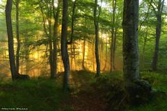 Magic of the forest (Hector Prada) Tags: bosque niebla luz árbol primavera sol bruma hojas mágico hayedo contraluz forest fog mist light sun spring sunrise magic tree leaves woods dreamy sunbeams paísvasco basquecountry