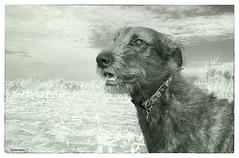 Dusseldorf is now 10 months old (randy der) Tags: irishwolfhound infrared 850nm